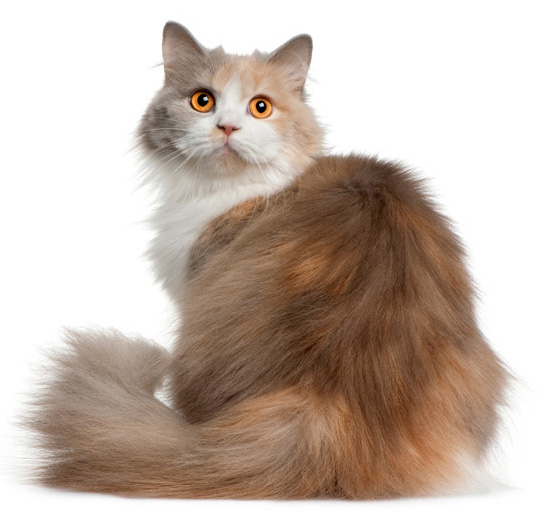 Long Haired Domestic Cat White And Orange