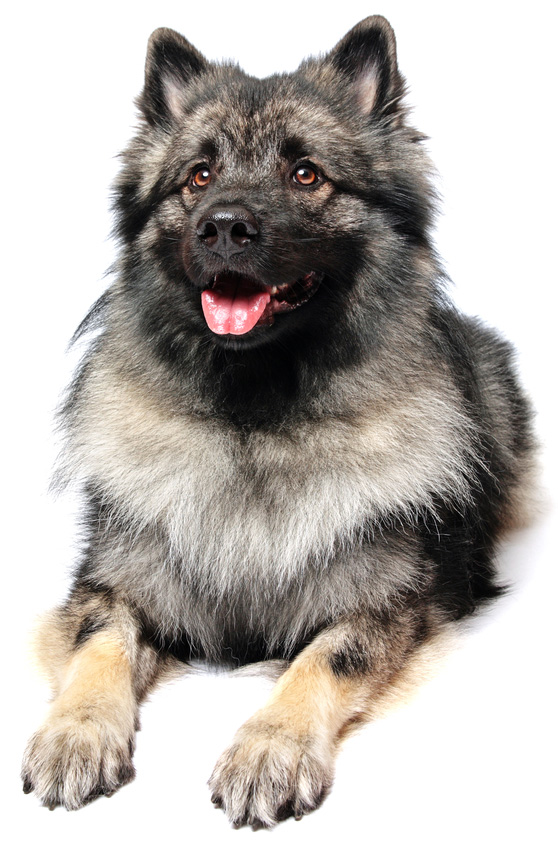 middenslag keeshond gekop hondenrassen encyclopedie